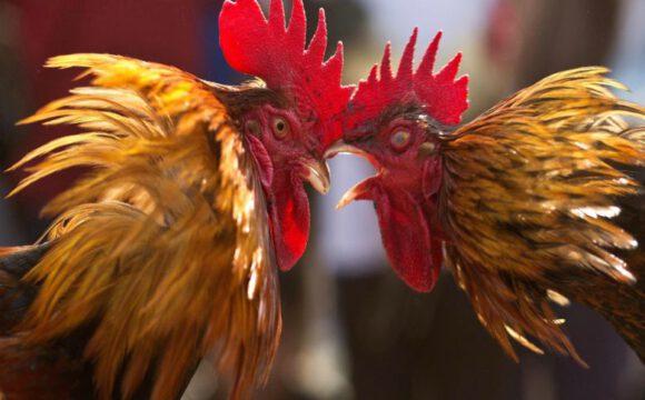 Tutorial Dalam Permainan Judi Sabung Ayam S128